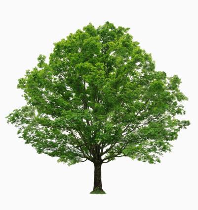枝「Maple tree on white background」:スマホ壁紙(5)
