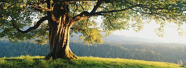 Maple tree (Acer platanoides), sunset:スマホ壁紙(壁紙.com)