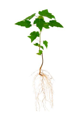 かえでの葉「カエデや根」:スマホ壁紙(2)
