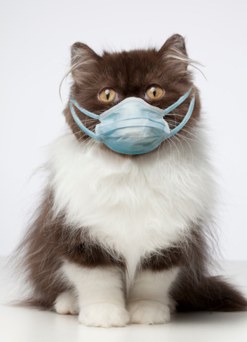 Purebred Cat「Brown and White Persian Cat wearing germ mask 」:スマホ壁紙(3)