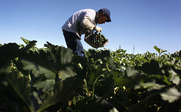 Vegetable「Migrant Workers Employed On Colorado's Largest Organic Farm」:写真・画像(12)[壁紙.com]