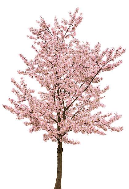 Spring Pink Blossom Tree Isolated on White:スマホ壁紙(壁紙.com)