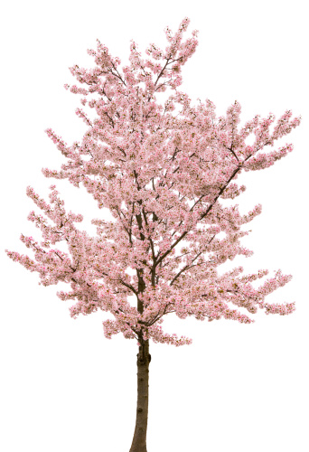 Cut Out「Spring Pink Blossom Tree Isolated on White」:スマホ壁紙(18)