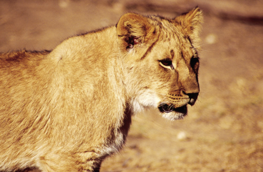 Teenager「Adolescent lioness, Chipangali Wildlife Orphanage.」:スマホ壁紙(6)