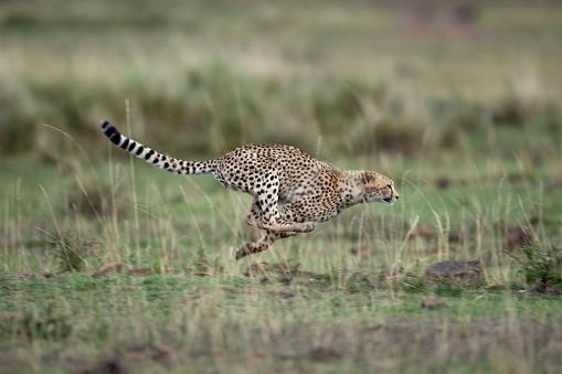 Masai Mara National Reserve「Adolescent Cheetah cub running in Masai Mara National Reserve」:スマホ壁紙(19)