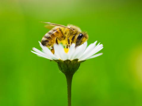 Single Flower「Honey bee covered in pollen from daisy.」:スマホ壁紙(17)