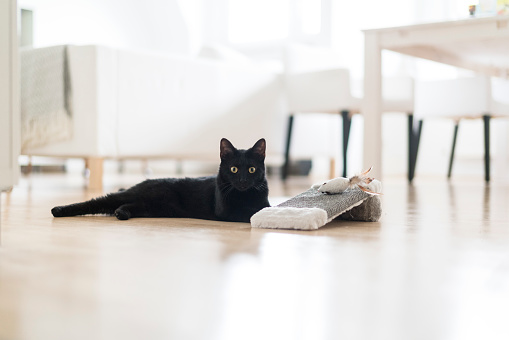 black cat「Black cat lying on the floor with toys in the living room」:スマホ壁紙(16)