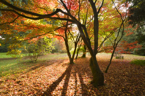 かえでの葉「Acer Glade at Westonbirt Arboretum in Autumn, Gloucestershire, England, UK」:スマホ壁紙(13)