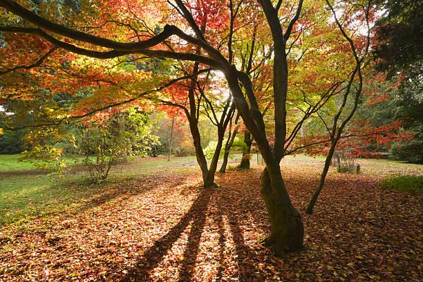 Acer Glade at Westonbirt Arboretum in Autumn, Gloucestershire, England, UK:スマホ壁紙(壁紙.com)