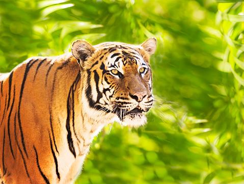 Tiger「USA, Florida, close up of tiger」:スマホ壁紙(15)