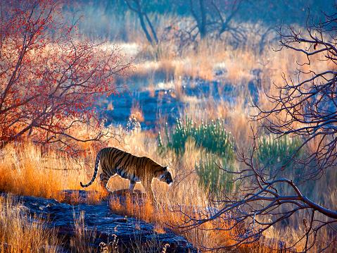 Tiger「Tiger country」:スマホ壁紙(19)