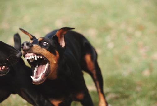 Doberman Pinscher「Doberman attacking black labrador, close-up」:スマホ壁紙(9)