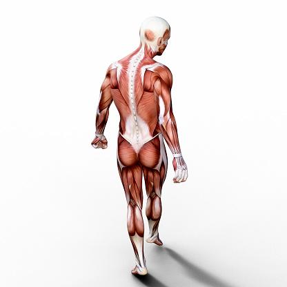 Leg「3D render depicting the anatomy of a human muscular system.」:スマホ壁紙(11)
