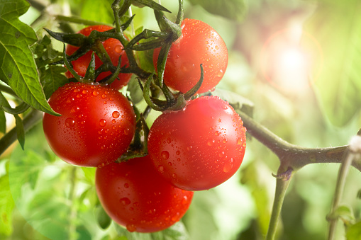 Cultivated Land「Fresh  bunch Garden Tomatoe on the vine in the sun」:スマホ壁紙(6)