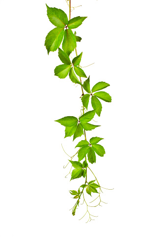 Vine - Plant「Wild Vine (Parthenocissus Tricuspidata).」:スマホ壁紙(12)
