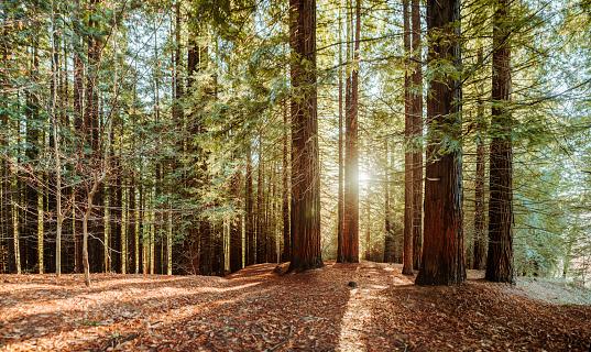 Natural Landmark「Redwood forest」:スマホ壁紙(5)