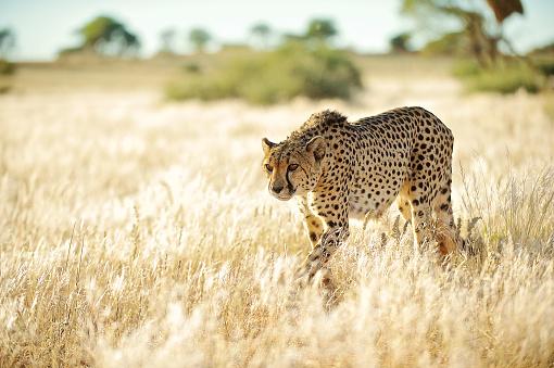 Walking「Side front view Cheetah approaching in golden grass」:スマホ壁紙(14)
