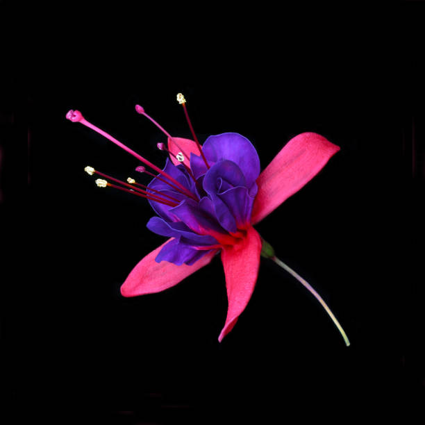 Purple & pink fuchsia flower on black square.:スマホ壁紙(壁紙.com)