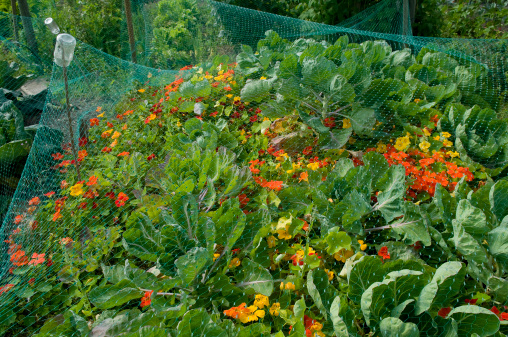 Norfolk - England「Cabbages (Brassica oleraca) and flowers under netting」:スマホ壁紙(18)