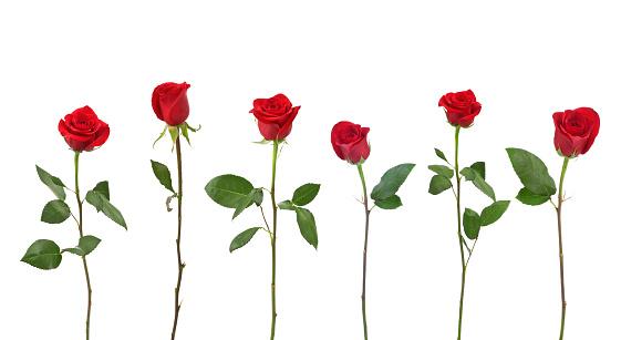 並んでいる「赤いバラ(XXL」:スマホ壁紙(11)