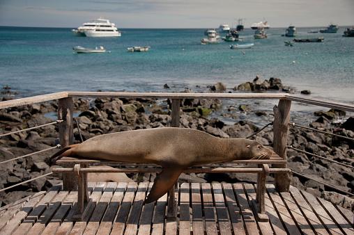 Sea Lion「Sea Lion takes a nap on public bench, Port Aroya, Galapagos Isla」:スマホ壁紙(5)