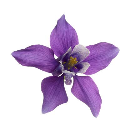 Square Shape「Purple Aquilegia flower in close-up on white square.」:スマホ壁紙(17)