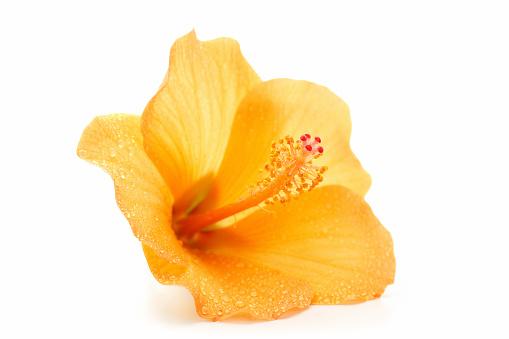 Wet「wet hibiscus」:スマホ壁紙(3)