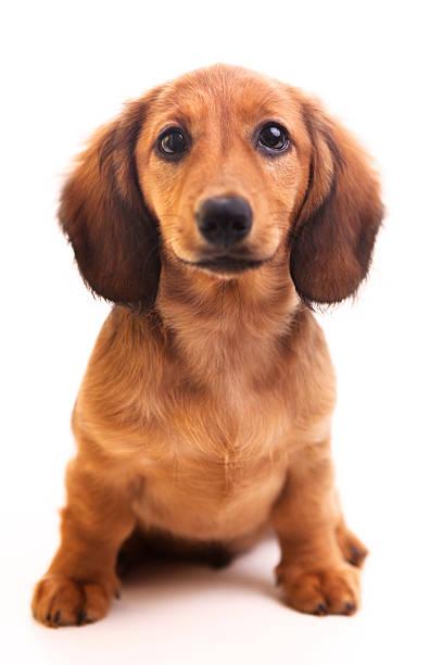 Cute brown Dachshund puppy on white background :スマホ壁紙(壁紙.com)