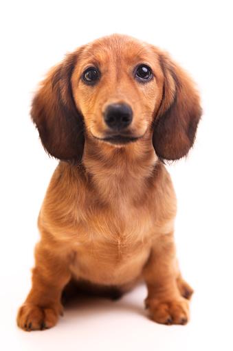 Animal Head「Cute brown Dachshund puppy on white background 」:スマホ壁紙(1)