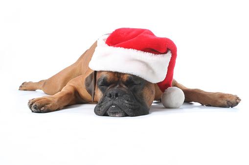 Boxer - Dog「Cute brown puppy sleeping while wearing a Santa hat」:スマホ壁紙(18)
