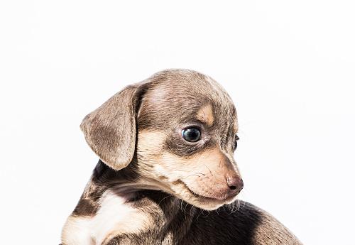 Looking Away「Cute Brown Female Dachshund Mix Puppy - The Amanda Collection」:スマホ壁紙(4)
