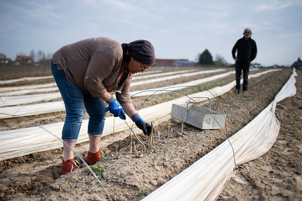 Asparagus「Locals Help Harvest During The Coronavirus Crisis」:写真・画像(1)[壁紙.com]