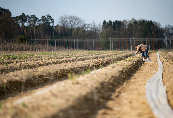 Asparagus「Locals Help Harvest During The Coronavirus Crisis」:写真・画像(2)[壁紙.com]