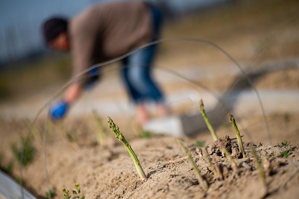 Asparagus「Locals Help Harvest During The Coronavirus Crisis」:写真・画像(11)[壁紙.com]