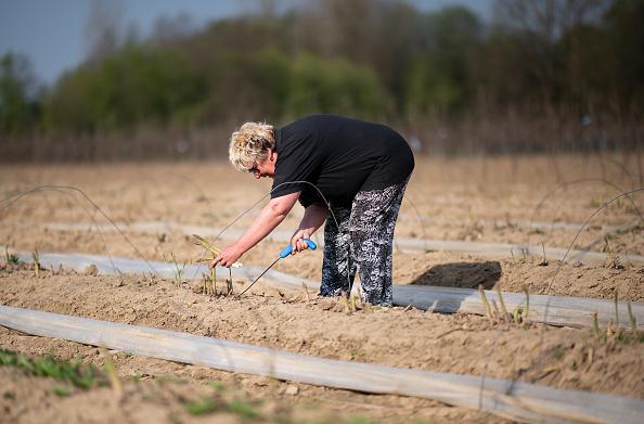 Asparagus「Locals Help Harvest During The Coronavirus Crisis」:写真・画像(12)[壁紙.com]