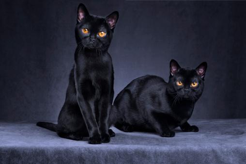 Purebred Cat「Black cats」:スマホ壁紙(8)