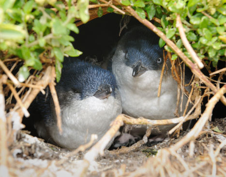Animal Family「Little Penguins/Fairy Penguins (Eudyptula Minor) breeding in Wildlife, Australia (XXXL)」:スマホ壁紙(9)