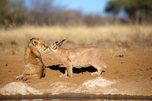 Friendship「Lion Cub (Panthera Leo) and Caracal (Felis Caracal) nose to nose, Namibia」:スマホ壁紙(1)