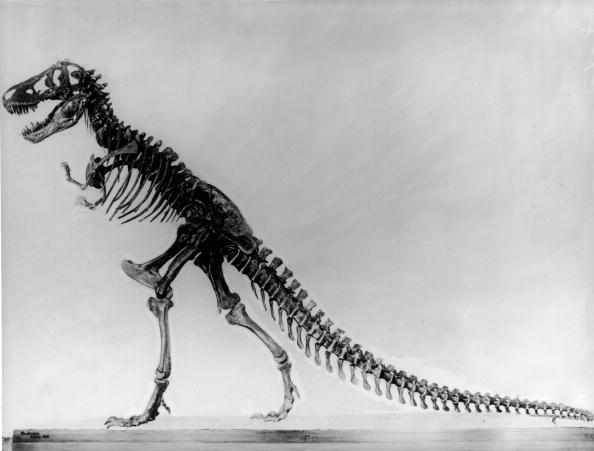 Dinosaur「Tyranosaurus skeleton」:写真・画像(11)[壁紙.com]