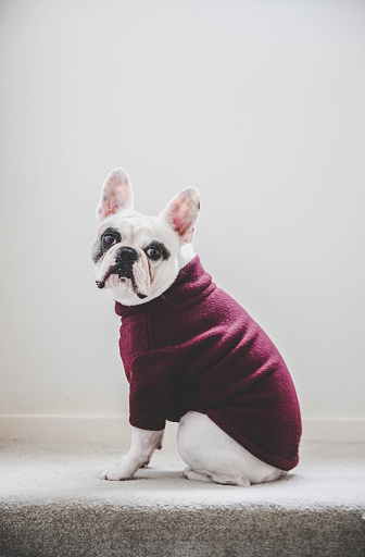 Sweater「Side view of a French Bulldog wearing a turtle neck fleece jumper」:スマホ壁紙(14)