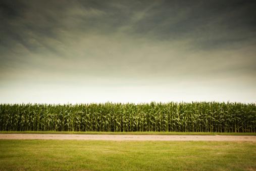 Corn - Crop「Agricultural Cornfield Under Stormy Sky Forecasts GMO Corn Crop Dangers」:スマホ壁紙(9)