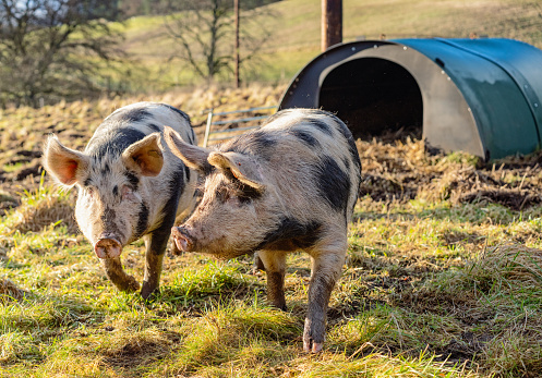 Walking「Two free-range pigs together in a field」:スマホ壁紙(6)
