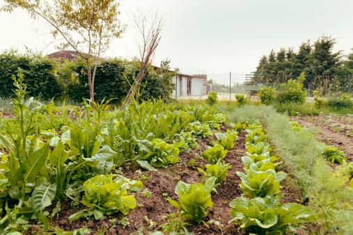 Vegetable Garden「Vegetable garden」:スマホ壁紙(12)