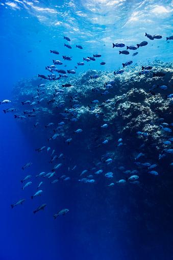 潜水「雄大なドロップオフ,黒と白のスナッパーズマカラーニジェール,パラオ,ミクロネシアの大きな学校」:スマホ壁紙(15)