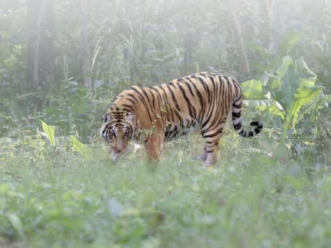 Tiger「A wild Bengal tiger」:スマホ壁紙(2)