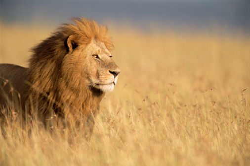 Looking Away「Male lion (Panthera leo) standing in long grass, side view」:スマホ壁紙(16)