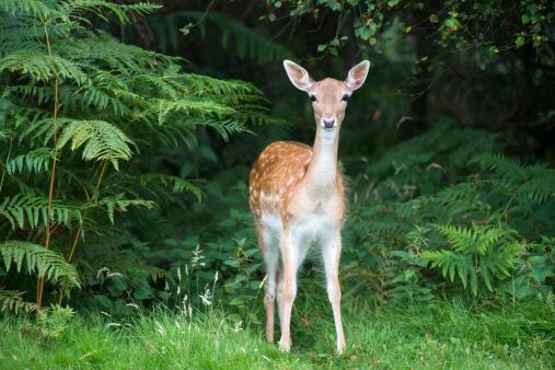 Intelligence「Fallow deer doe (female)」:スマホ壁紙(2)