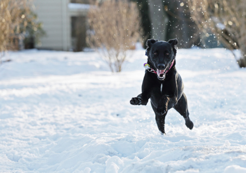 Approaching「Excited Dog Leaping Through Snow」:スマホ壁紙(8)