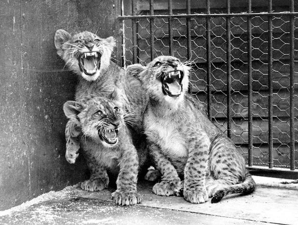 Animal Themes「Angry Cubs」:写真・画像(4)[壁紙.com]