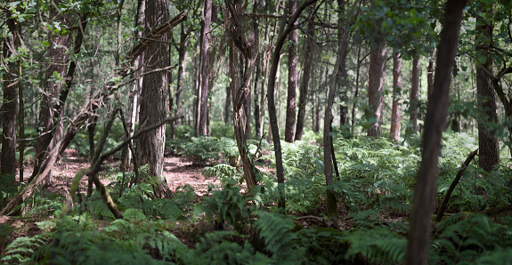 North Brabant「Panorma of a forest with ferns and a mix of trees」:スマホ壁紙(8)
